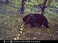 Snufflling bear (7146690581).jpg