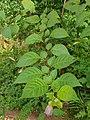 Solanales - Atropa bella-donna - 5.jpg