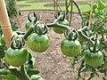 Solanales - Solanum lycopersicum - 40.jpg