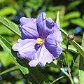 Solanum aviculare flower.jpg