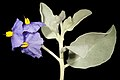 Solanum lasiophyllum - Flickr - Kevin Thiele.jpg