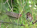 Song Sparrow with Brown-headed Cowbird chick, South Barrington, IL (7665580590).jpg