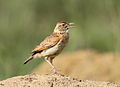 Song and dance routine of the Rufous-naped Lark, Mirafra africana at Rietvlei Nature Reserve, Gauteng, South Africa (15857525330).jpg