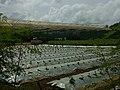 Songhai farm ( modern planting techniques).jpg