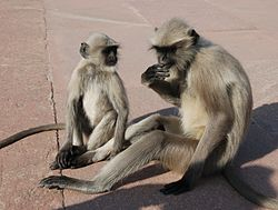 Southern Plains Gray Langurs India 2.jpg