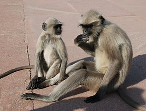 Description de l'image Southern Plains Gray Langurs India 2.jpg.