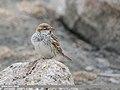 Spanish Sparrow (Passer hispaniolensis) (31310728667).jpg