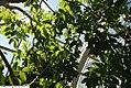 Spathodea campanulata 20zz.jpg