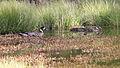 Spectacled Duck (Speculanas specularis) (15336139873).jpg