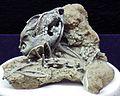 Spermophilus richardsonii (fossil ground squirrel).jpg