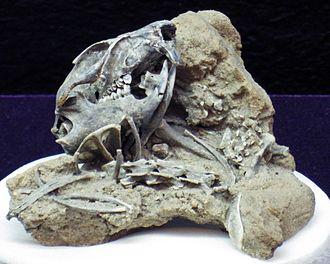 Richardson's ground squirrel - Fossil specimen