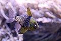 Sphaeramia nematoptera Pajama Cardinalfish.jpg