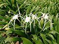 Spider Lily (Hymenocallis speciosa) 1.jpg