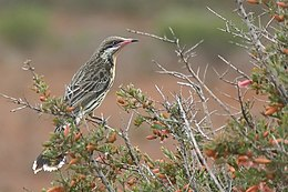 Spiny cheeked honeyeater.jpg