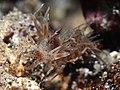 Spiny tiger shrimp (Phyllognathia ceratophthalma) (16245371845).jpg