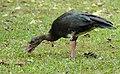 Spur-winged Goose (Plectropterus gambensis) grazing ... (31576432477).jpg