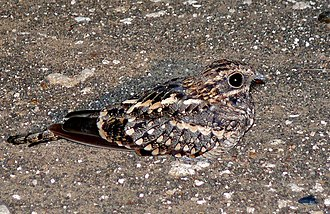 Square-tailed nightjar - male and female
