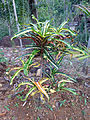 Sri Lanka (Southern Province)-Vegetation (11).jpg