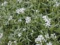 Starr-010520-0047-Lobularia maritima-flowers-Inland-Kure Atoll (24532731845).jpg