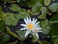 Starr-010914-0052-Nymphaea sp-flower-Lahaina-Maui (24433837842).jpg