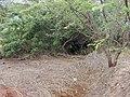 Starr-020130-0022-Schinus terebinthifolius-habit-Kanaha Beach-Maui (24178720279).jpg