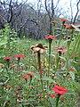 Starr-040324-0009-Zinnia peruviana-flowers-Puu o Kali-Maui (24073022613).jpg
