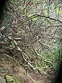 Starr-050405-5910-Schinus terebinthifolius-habit-Keopuka-Maui (24375409519).jpg