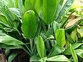 Starr-060928-0424-Cordyline fruticosa-habit-County Nursery Kahului-Maui (24866463715).jpg