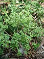 Starr-080531-4852-Euphorbia peplus-leaves flowers and fruit-Halsey Dr around residences Sand Island-Midway Atoll (24615383010).jpg