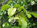 Starr-090617-0893-Sandoricum koetjape-leaves and fruit forming-Ulumalu Haiku-Maui (24964981995).jpg