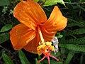 Starr-091104-0714-Hibiscus kokio subsp saintjohnianus-flower with raindrops-Kahanu Gardens NTBG Kaeleku Hana-Maui (24360441043).jpg