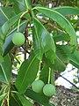 Starr-091104-9012-Calophyllum inophyllum-leaves and fruit-Kahanu Gardens NTBG Kaeleku Hana-Maui (24988488765).jpg