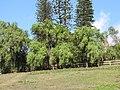 Starr-091120-0087-Schinus molle-habit-Maui Horse Center Makawao-Maui (24872433932).jpg