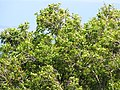 Starr-100601-6561-Syzygium cumini-leaves-Kokomo-Maui (24743666200).jpg