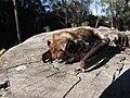 Starr-100907-9063-Eucalyptus sp-habitat with Hawaiian hoary bat Lasiurus cinereus semotus-Olinda-Maui (24933300692).jpg