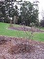 Starr-110217-1526-Prunus persica var persica-Florida Prince flowering habit-Olinda-Maui (24445787564).jpg