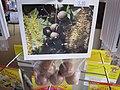 Starr-110307-2566-Macadamia integrifolia-seeds in packets-Kula Botanical Garden-Maui (25051970476).jpg