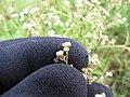 Starr-110503-5485-Parthenium hysterophorus-flowers-Kula-Maui (24727164989).jpg
