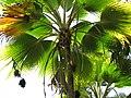 Starr-120522-6337-Pritchardia thurstonii-fruit and crown-Iao Tropical Gardens of Maui-Maui (25050245081).jpg
