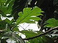 Starr-120606-7006-Artocarpus altilis-leaves-Kahanu Gardens Hana-Maui (24776967359).jpg
