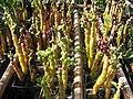 Starr-130114-1407-Basella alba-fruiting habit in pots-Paia-Maui (24836832529).jpg