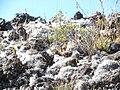 Starr-140630-4776-Holcus lanatus-habit with baby chucar running-Halemauu HNP-Maui (24876657559).jpg