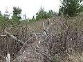 Starr-170225-7034-Rubus niveus-Forest making way through thicket on downed tree trail reroute-Lower Waiohuli Trail Polipoli-Maui (33254047011).jpg