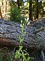 Starr-170304-0351-Conyza bonariensis-flowers-Lower Waiohuli Trail Polipoli-Maui (33342182106).jpg