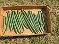 Starr-200721-7829-Vanilla planifolia-harvested pods-Hawea Pl Olinda-Maui (50335543073).jpg
