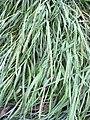 Starr 040110-0004 Eragrostis variabilis.jpg