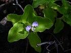 Starr 040410-0079 Commelina benghalensis.jpg