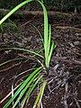 Starr 050125-3218 Carex alligata.jpg