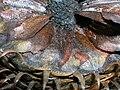 Starr 051106-5216 Araucaria columnaris.jpg