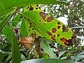 Starr 060916-8848 Syzygium jambos.jpg